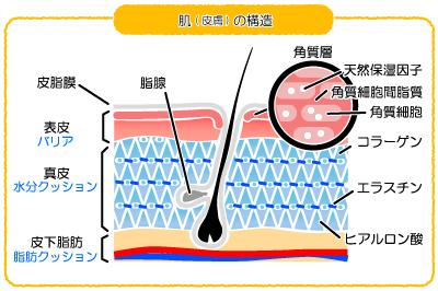 肌(皮膚)の構造―表皮と真皮そして皮下組織